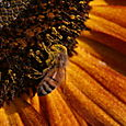 Sunflower And Bees - 2