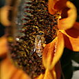 Sunflower And Bees - 16
