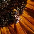 Sunflower And Bees - 1