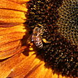 Sunflower And Bees - 13