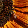 Sunflower And Bees - 15