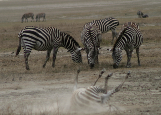 Day 16 - Ngorongoro Crater - 63