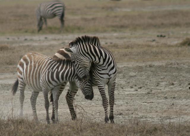 Day 16 - Ngorongoro Crater - 66