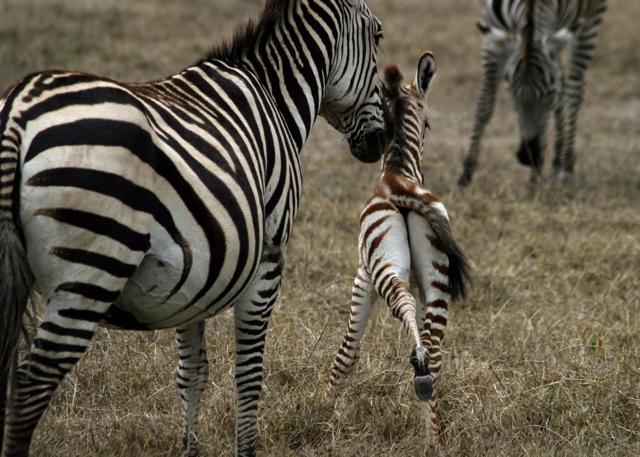 Day 16 - Ngorongoro Crater - 69