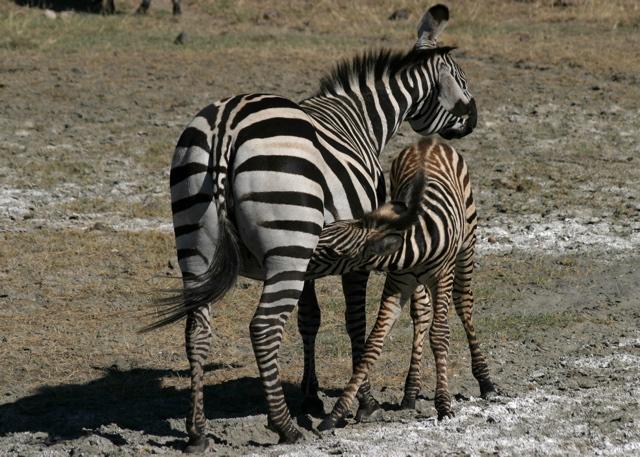 Day 16 - Ngorongoro Crater - 8