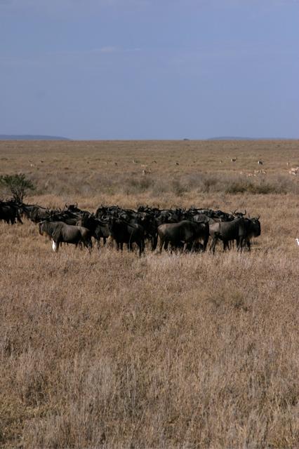 Day 20 - Serengeti & Fly to Nairobi - 30