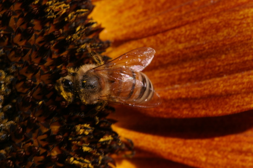 Sunflower And Bees - 10