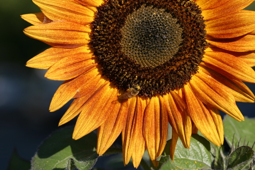Sunflower And Bees - 12