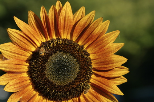 Sunflower And Bees - 6