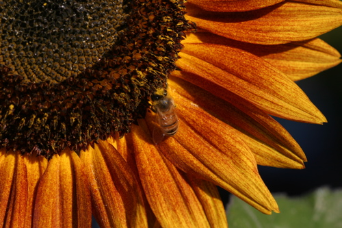 Sunflower And Bees - 7