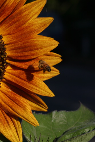 Sunflower And Bees - 9