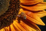 Sunflower And Bees - 14
